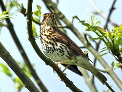 Song Thrush - near the Dragon Stones