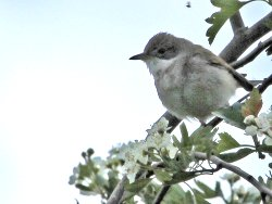 Whitethroat, near the Dragon Stones