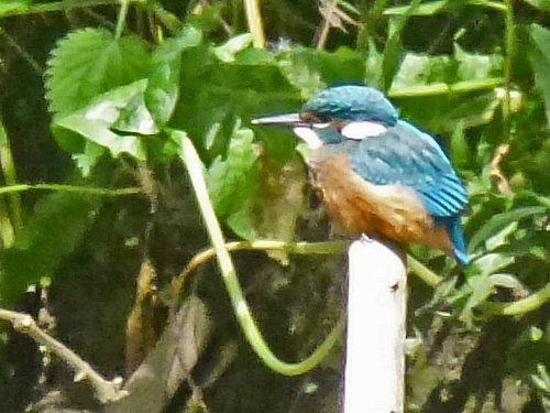 Juvenile Kingfisher: Tang Hall Beck, 31st May 2017