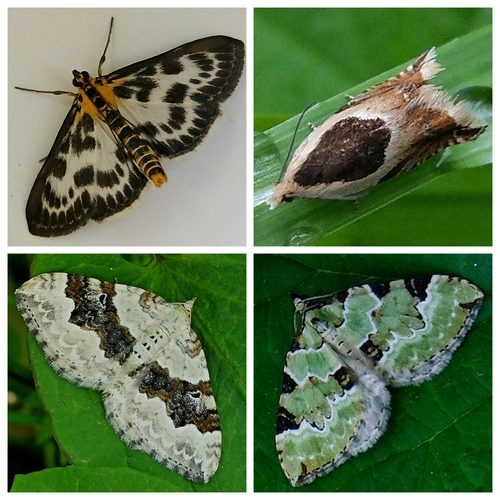 Clockwise from top left: Small Magpie Moth; Micro Moth Ancylis badiana; Green Carpet Moth; Silver-ground Carpet Moth