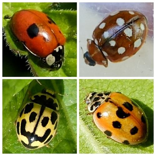 Ladybirds - clockwise from top left: ladybirds - Two-Spot; Cream-Spot; Ten-Spot; Fourteen-Spot