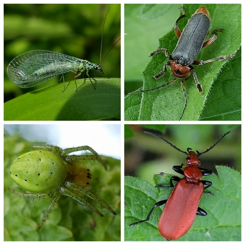 Clockwise from top left: - Lacewing; Soldier Beetle Cantharis rustica;