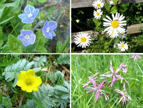Clockwise from top left: Germander Speedwell; Ox Eye Daisy; Ragged Robin; Silverweed