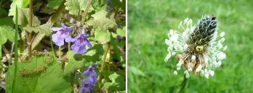 Left: Ground Ivy; right: Ribwort Plantain