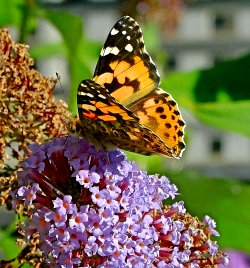 Painted Lady feeding on Buddleia
