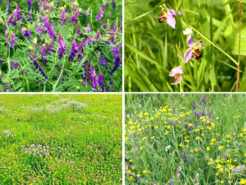 Clockwise from top left: Tufted Vetch; Bee Orchid; Tufted Vetch and Birds Foot Trefoil in the meadow; meadow flowers