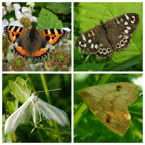 Clockwise from top left: Small Tortoiseshell and Speckled Wood butterflies; Straw Dot and White Plume moths