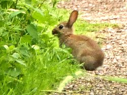 Juvenile Rabbit near the Dragon Stones