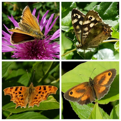 Clockwise from top left: Butterflies - Small Skipper, Speckled Wood, Gatekeeper, Comma