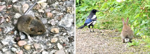 Left: Wood (Long-tailed) Mouse.. juvenile; right: Magpie and Rabbit.