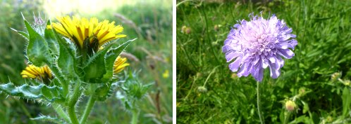 Left: Bristly Oxtongue; right: Field Scabious