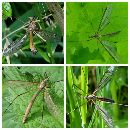 Tipula species: Clockwise from top left: