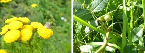 Galls - left: Tansy Gall; right: Rose Sputnik Gall