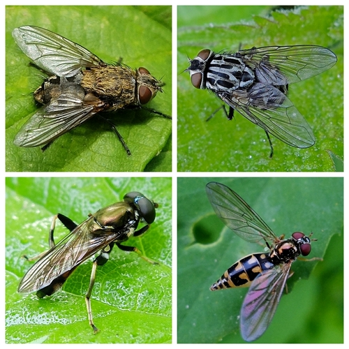 Clockwise from top left: Cluster fly Pollenia rudis, Muscid fly Graphomya maculata, Hoverflies: Melanostoma scalare and Xylota segnis