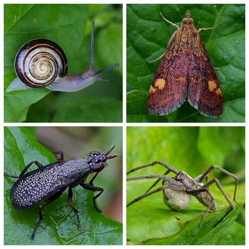 Clockwise from top left: Banded Snail, Mint Moth, Nursery Web Spider, Snail-killing Fly