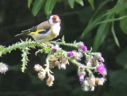 Goldfinch on Thistle sp.