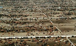 Intensive cattle farming