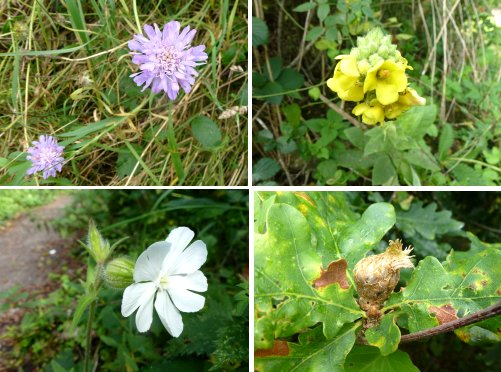 Clockwise from top left: Field Scabious, Great Mullein, Artichoke Gall, White Campion