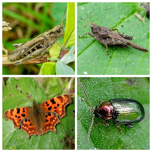 Clockwise from top left: Field Grasshopper, Slender Ground-hopper, Willow Flea Beetle, Comma Butterfly