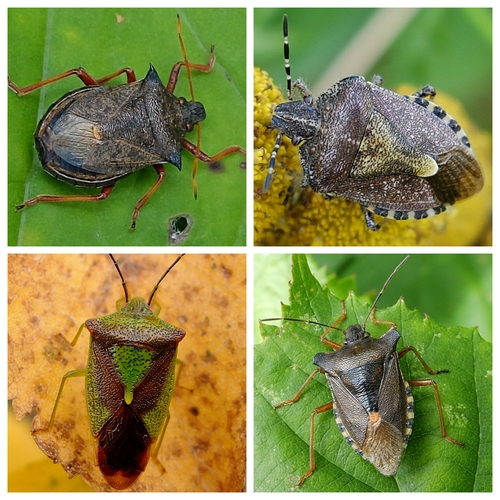 Clockwise from top left: Spiked Shieldbug, Hairy Shieldbug, Red-legged Shieldbug, Hawthorn Shieldbug