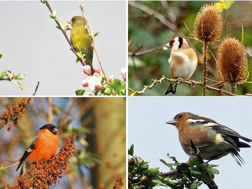 Clockwise from top left: Greenfinch, Goldfinch, Chaffinch, Bullfinch