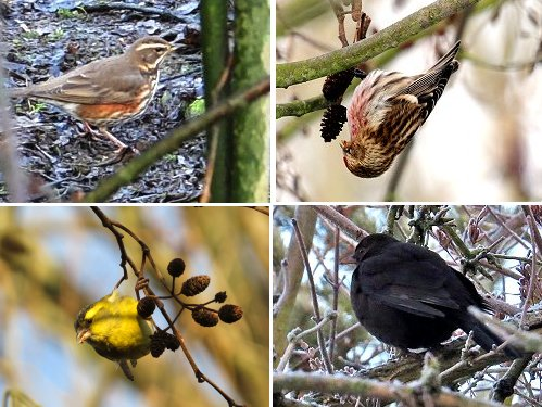 Clockwise from top left: Redwing; Redpoll; Blackbird (a Scandinavian visitor with a black beak); Siskin