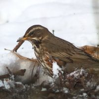 Redwing in the snow, by Lewis Outing