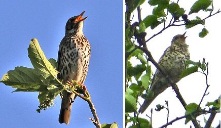 Left: Song Thrush; right: Mistle Thrush