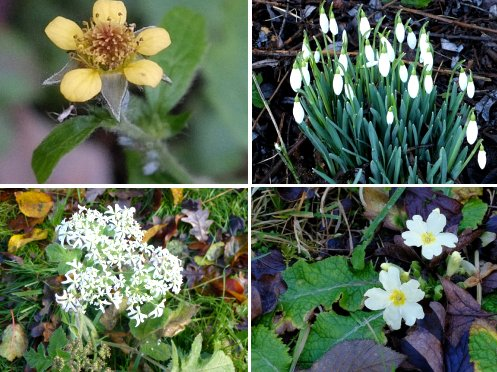Clockwise from top left: Wood Avens; Snowdrop; Primrose; Hog Weed