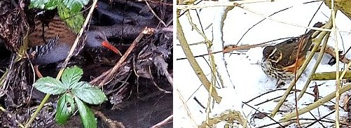 Dark & light! Left: Water Rail on Osbaldwick Beck; right, Redwing in the snow