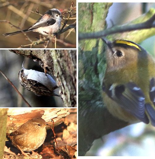 Left top: Long-tailed Tit; middle Treecreeper; bottom Wren; right Goldcrest.