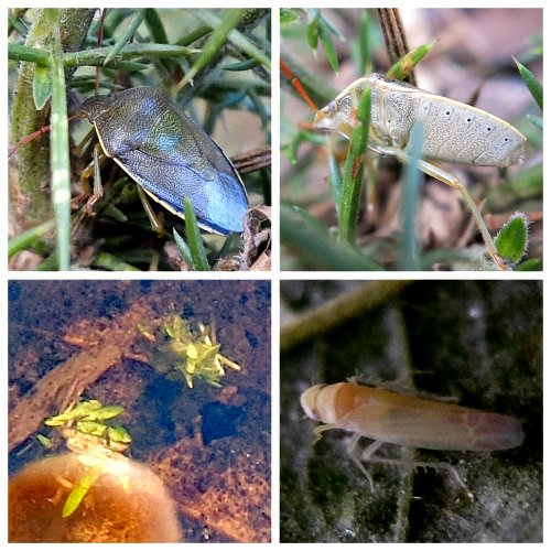 Clockwise from top left: Gorse Shieldbug upper side; Gorse Shieldbug lower side; Caddis Fly Larvae; Rose Leafhopper.