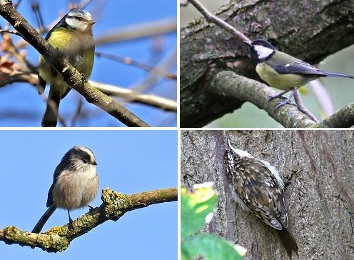 Clockwise from top left: Blue Tit, Great Tit, Treecreeper, Long-tailed Tit