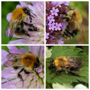 Collage of Common Carder Bumblebee