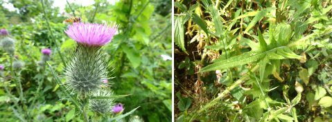 Spear Thistle and its leaves
