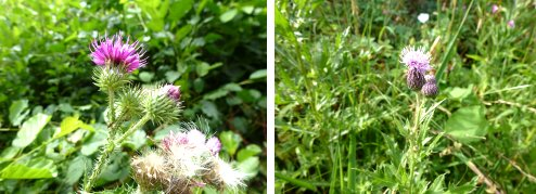 Welted Thistle (left) and Creeping Thistle