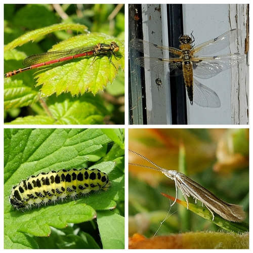 Large Red Damselfly, Four-spotted Chaser Dragonfly, Micro-moth Coleophora albicosta, Six-spotted Burnet larva