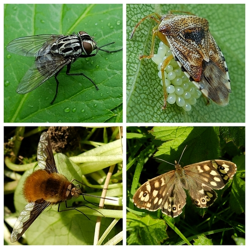 Muscid Fly Graphomya maculata, Parent Shieldbug with eggs, Speckled Wood Butterfly, Dark-edged Bee Fly