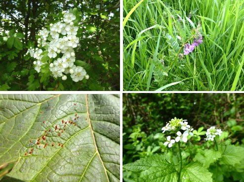 Hawthorn. Bush Vetch, Mite Gall on Field Maple, Garlic Mustard