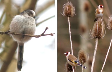 Long-tailed Tit, Goldfinches
