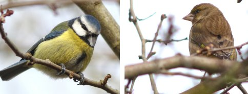 Blue Tit, Greenfinch