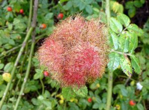 Robin's Pincushion