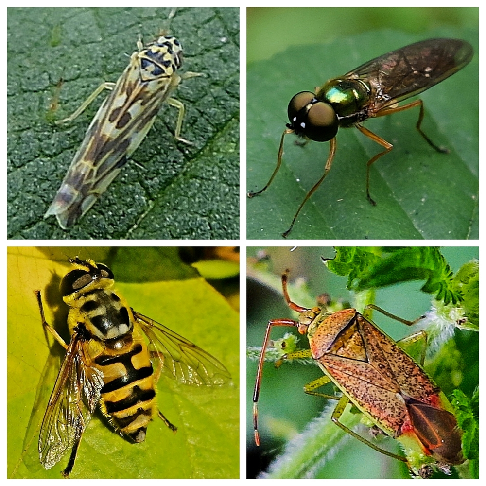 Clockwise from top left: Nettle Leafhopper, Twin-spot Centurion Soldier Fly, Mirid Bug (Pantilius tunicatus), Hoverfly (Myathropa florea)