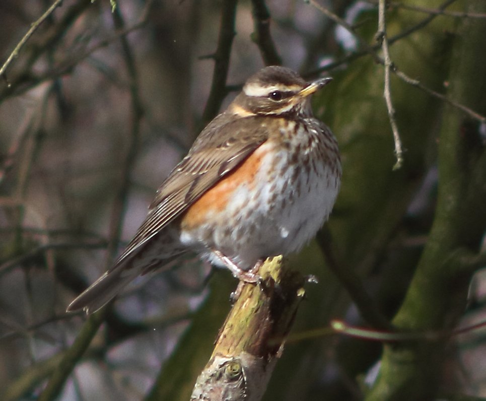 Redwing, by Lewis Outing