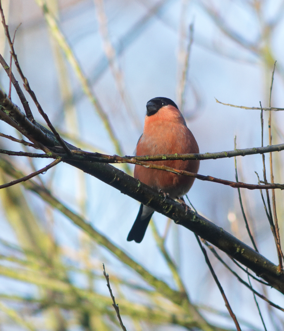 Male Bullfinch, by Lewis Outing