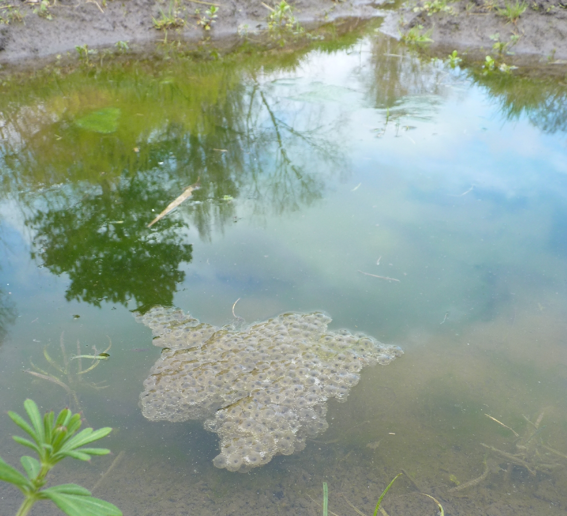 York Becks walk: frogspawn