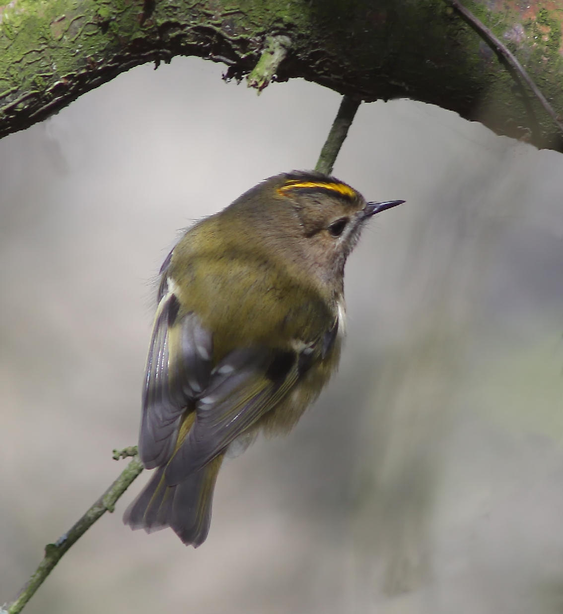 Goldcrest, by Lewis Outing