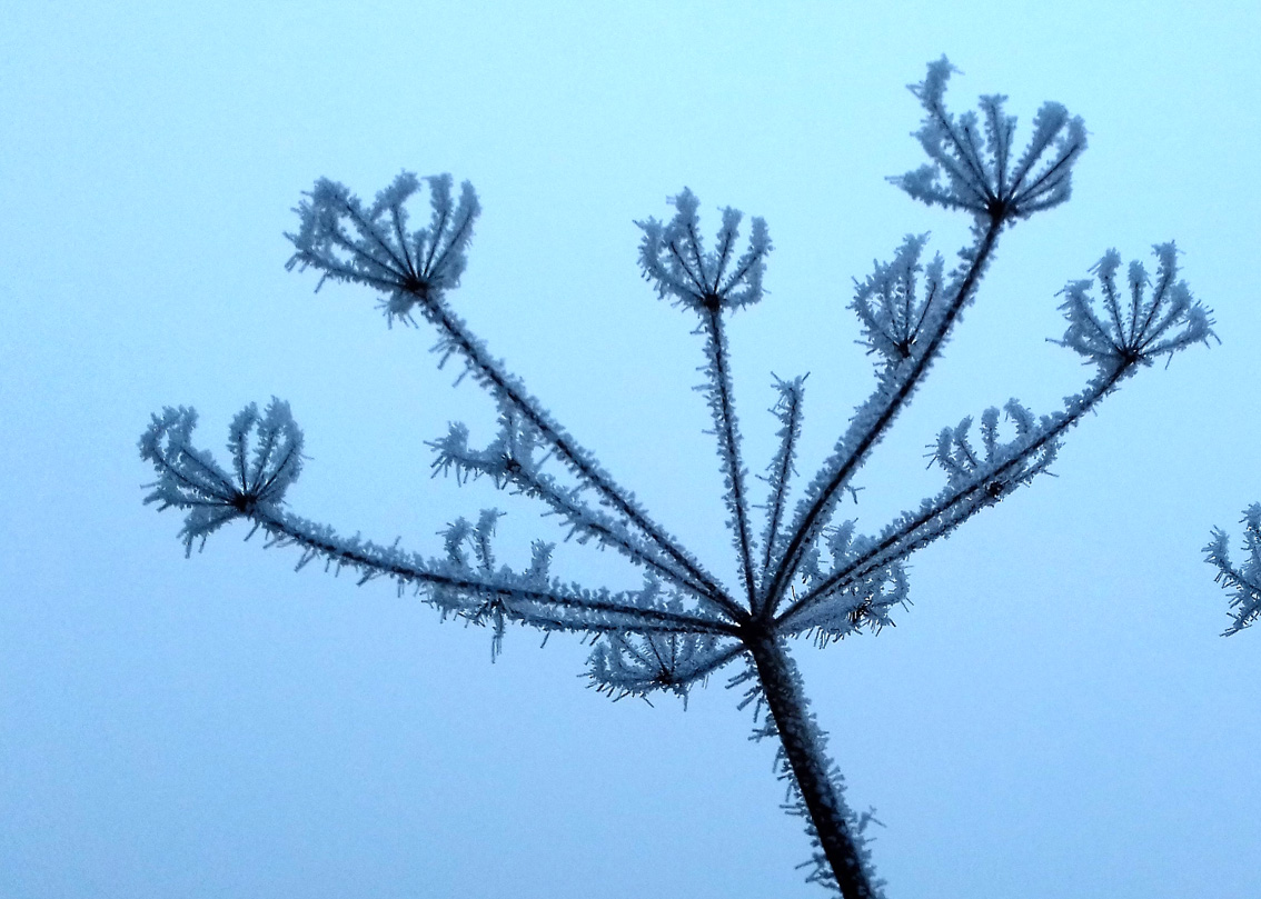 Hogweed covered in hoar frost