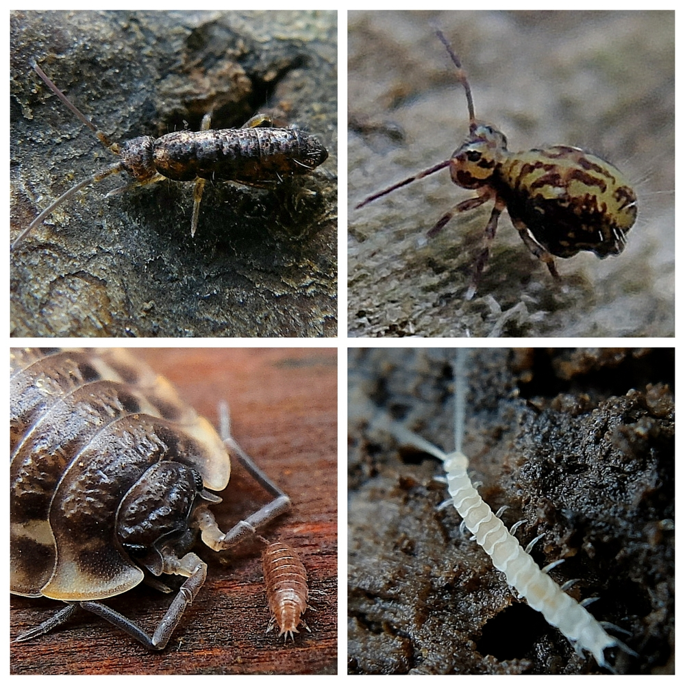 Clockwise from top left: Springtails (Tomocerus minor and Dicyrtomina saundersii); Millipede (Scutigerella agg.); Common Shiny and Pygmy Woodlice