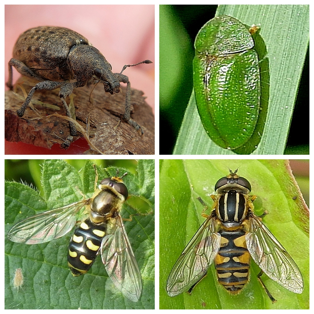 Beetles and hoverflies
